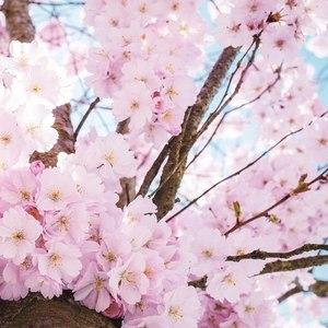 dylanf - 四月樱花